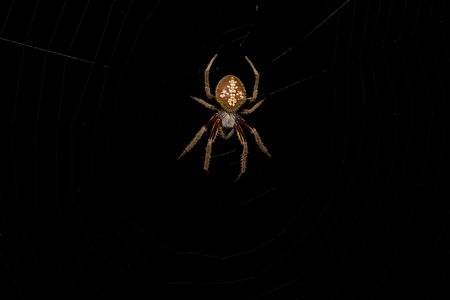 Large hairy spider waits for prey at the center of its web at night.
