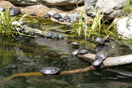 freshwater: Freshwater turtles congregate on logs in a pond to sun themselves.