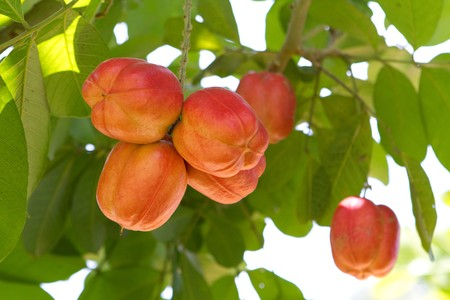 poisonous: Unripe ackee fruit growing on this tree in Jamaica is poisonous in this unripened state.