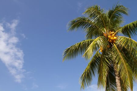 Golden colored coconuts grow on the palm tree in the tropics against a blue sky. Room for copy on left. Stock Photo - 7548209