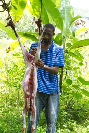 gutted: Man butchers a skinned and gutted goat in the mountain forests of Jamaica as it hangs by it hind legs from a tree. Stock Photo