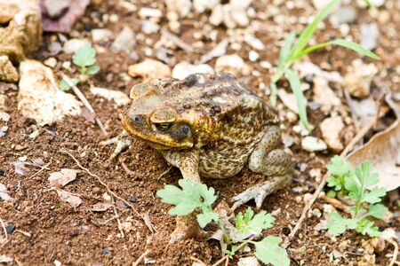 secreted: This Cane Toad, photographed in Jamaica, has secreted a milky white poison called bufotoxin from glands behind its eyes and is highly toxic to animals if eaten.