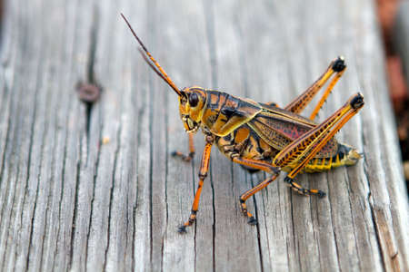 Florida Lubber grasshopper rests on a weathered wooden plank in central Florida. photo