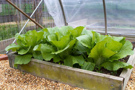 homegrown: Homegrown leaf lettuce in a wooden above ground box in a backyard garden greenhouse.