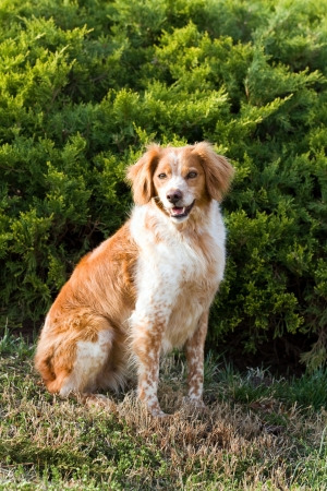 French Brittany Spaniel hunting dog sits outdoors in front of an evergreen  Reklamní fotografie