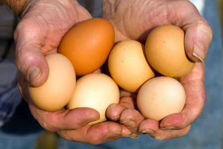 egg laying: Farmer holds fresh organic eggs laid by free range organically feed Road Island Red chicken hens  Stock Photo