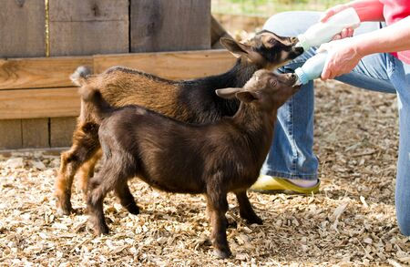 kidding: Farm woman bottle feeds milk to eight week old baby Dwarf Nigerian dairy goats.