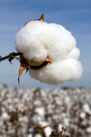 organic cotton: Cotton boll in a field ready to be harvested  Stock Photo