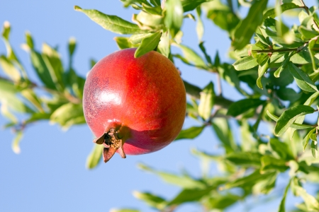 punica granatum: Ripe pomegranate hangs on the tree ready to be picked  Stock Photo