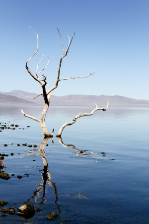 paiute: Ghostly dead tree in the shallow water of Pyramid Lake located on the Paiute Indian Reservation in Northern Nevada, USA