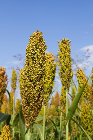 sorgo: Los tallos de sorgo crecen en un campo de cultivo agrícola.