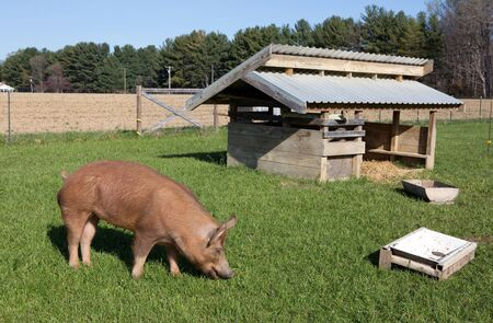 An organically raised free range Tamworth pig grazes on grass on a small farm in Maryland.