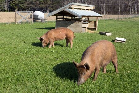 graze: Organically raised free range Tamworth pigs graze on pasture grass on a small farm. Stock Photo