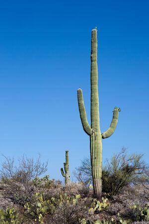 Giant saguaro cactus growing in Saguaro National Park in the Sonoran Desert, Arizona, USA.