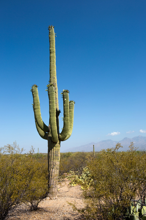 Giant saguaro cactus with flowers on the outskirts of Tucson, Arizona in the Sonoran Desert within the Saguaro National Park. Stock Photo