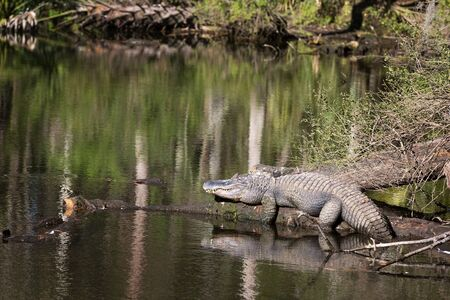 Large American alligator suns itself resting on a log by a pond in Florida.
