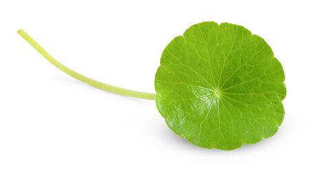 Asiatic Leaf Herb gotu kola, indian pennywort, centella asiatica, tropical herb isolated on white background. ayurveda herbal medicine inhibited or slowed growth of cancer cells Help prevent cancer 版權商用圖片