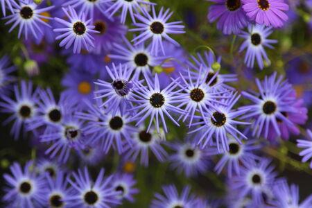 starlike: Purple-blue star-like flowers