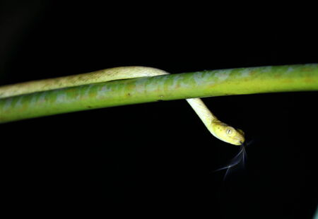 national plant: A yellow vine snake crawling along a plant, with flickering tongue visible. Night, Manual Antonio National Park in Costa Rica. Stock Photo