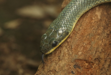 cold blooded: Bird snake or puffing snake (Pseustes poecilonotus), seen in Monteverde, Costa Rica. Stock Photo