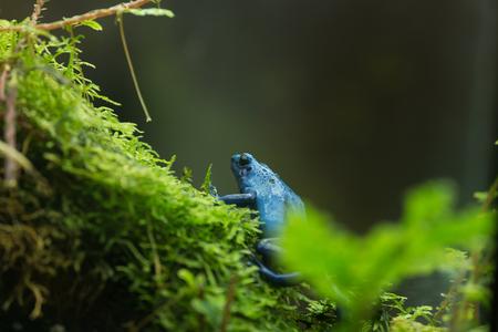arrow poison: Blue Poison Dart Frog Dendrobates tinctorius azureus in National Zoo in Washington DC.