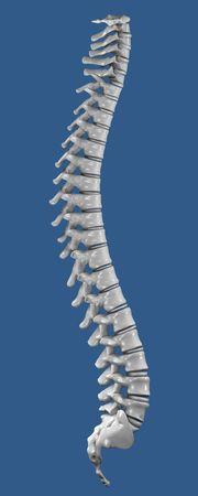 columna vertebral humana: Huesos de la columna vertebral humana vista lateral