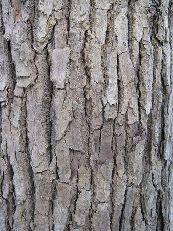 tree trunk bark of cinnamomum camphora photo