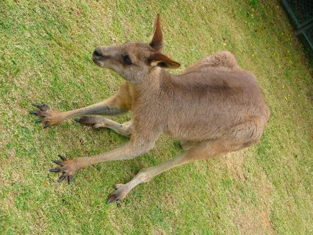 bend over: close shoot of wild kangaroo bend over on grass Stock Photo