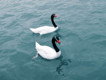 necked: black necked swan couple swimming in the lake water