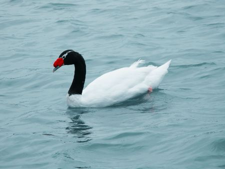 necked: black necked swan swimming in the lake water