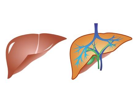 galla: Anatomia di fegato e fiele isolato su sfondo bianco