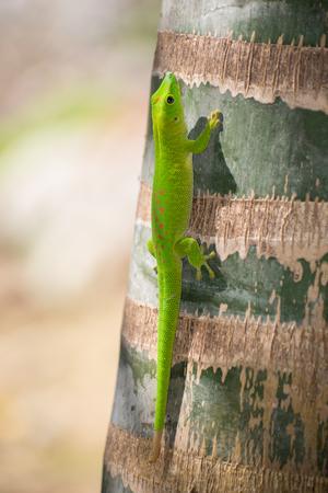 foglia: Madagascar giorno gecko Stock Photo