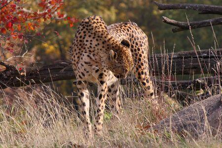 Cheetah walking in the grass. Reklamní fotografie