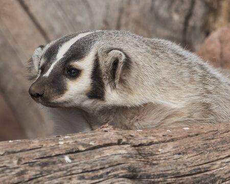 den: Badger leaving his den. Stock Photo