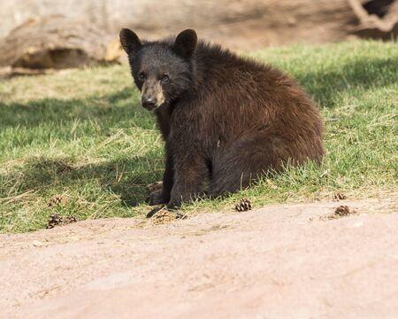 oso negro: oso negro joven que se sienta.