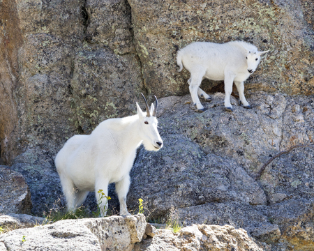 ledge: Female mountain goat and kid working down the mountain side.