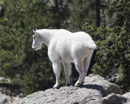 Mountain goat on rock ledge Stock Photo