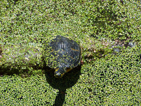 Turtle in duckweed