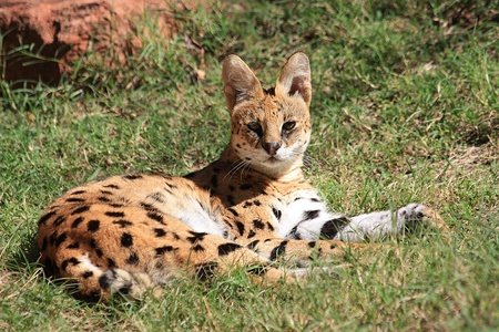 Serval - African Wild Cat resting in the sun.