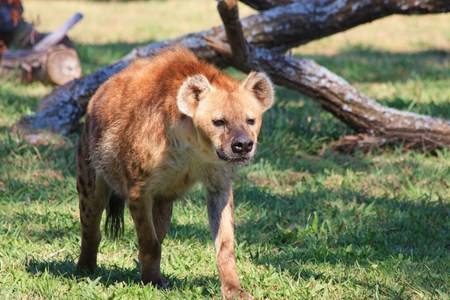 spotted: Spotted Hyena walking