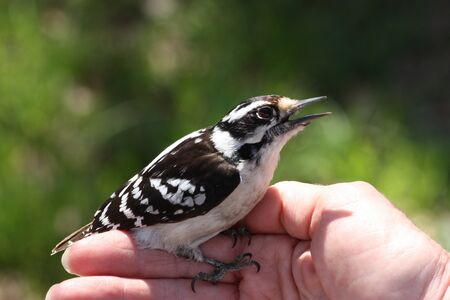 downy woodpecker: Downy Woodpecker in womans hand