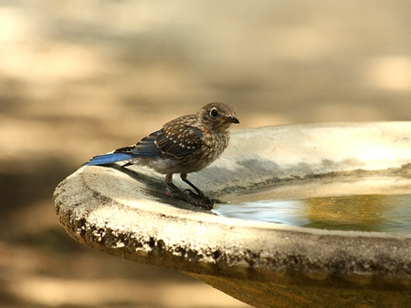 bluebird: Bluebird at edge of water in birdbath.