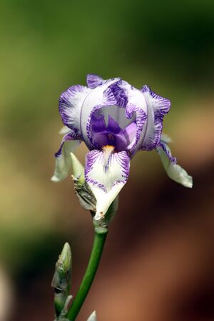 bearded iris: Close-up of purple striped bearded iris.