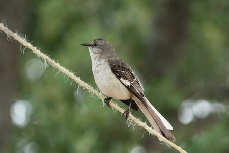 mockingbird: Mockingbird on rope with green background.