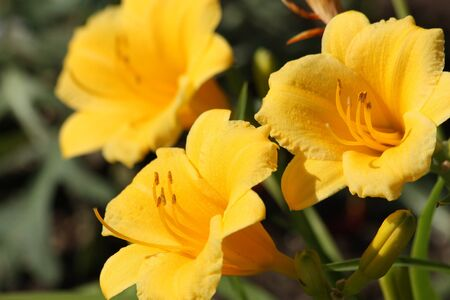 stell: Three stell-de-oro flowers blooming on a dark green background. Stock Photo