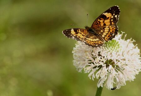 silvery: Silvery checkerspot butterfly on white wildflower on light green blurred background, with room for text.