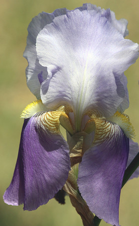 Close-up of a purple bearded iris with yellow beard and gold veins, on a light green blurred background.