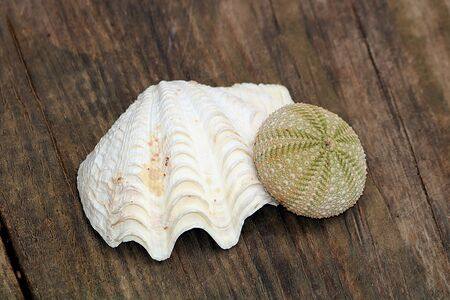 White sea shell and green sea urchin on a wood grain background. Imagens
