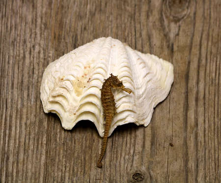 White sea shell and brown sea horse on a wood grain background.