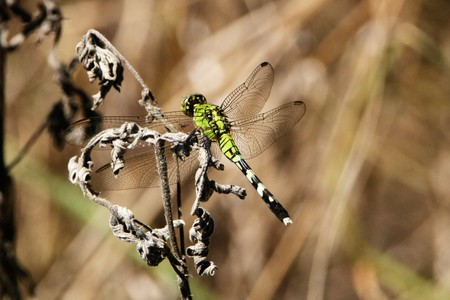 pondhawk: Close-up of an Eastern pondhawk dragonfly sitting on a dried wildflower on  blurred background.